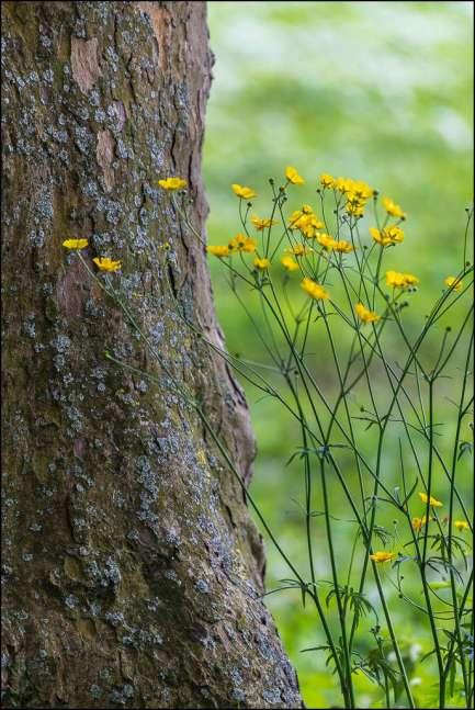 boterbloemen - buttercups