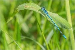 azuurwaterjuffer - azure damselfly