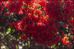 rhododendron-5