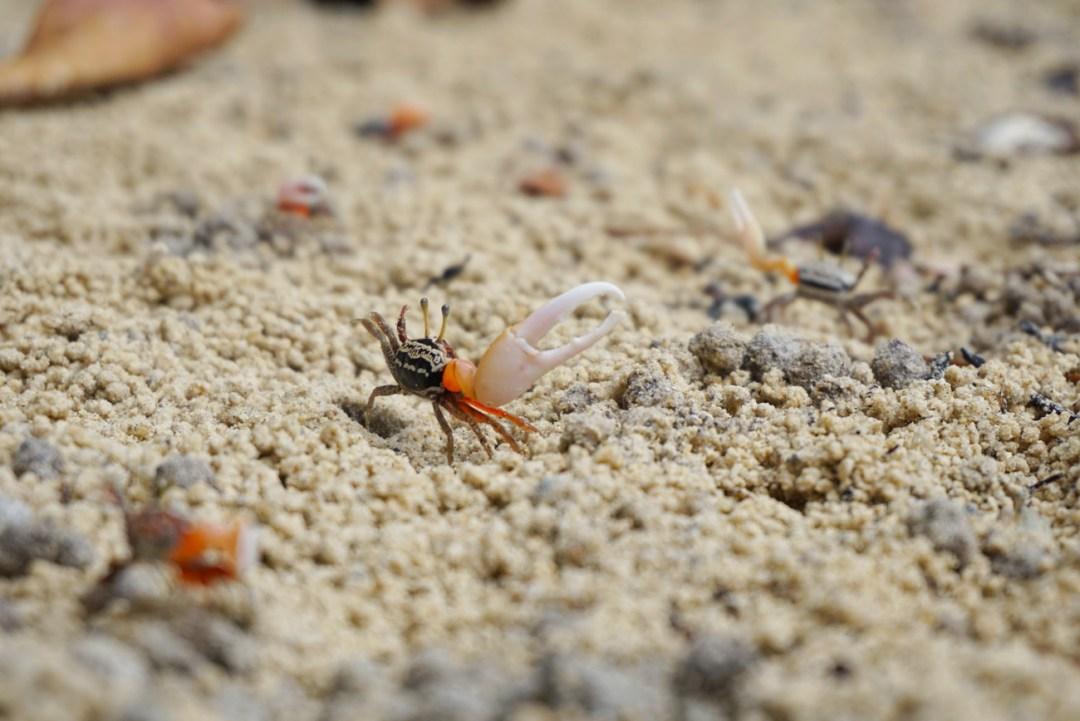 Krabben met een grote schaar
