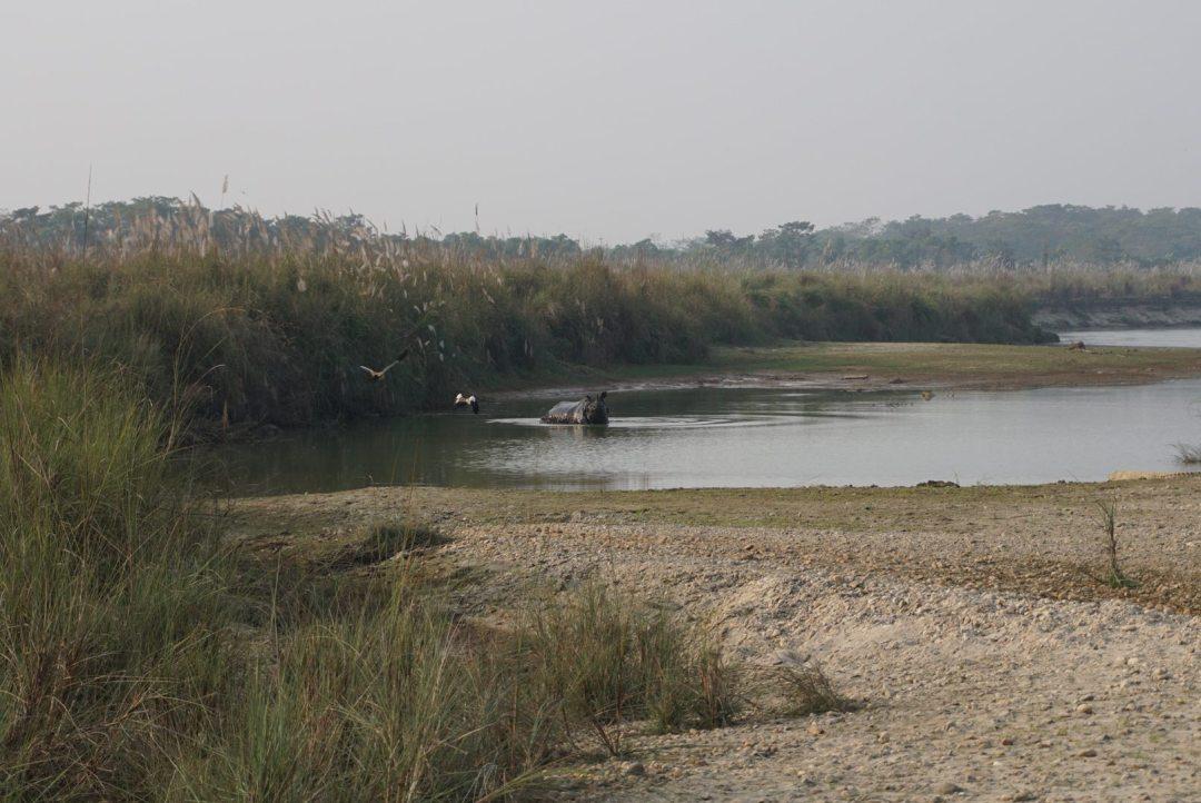 Neushoorn chitwan national park