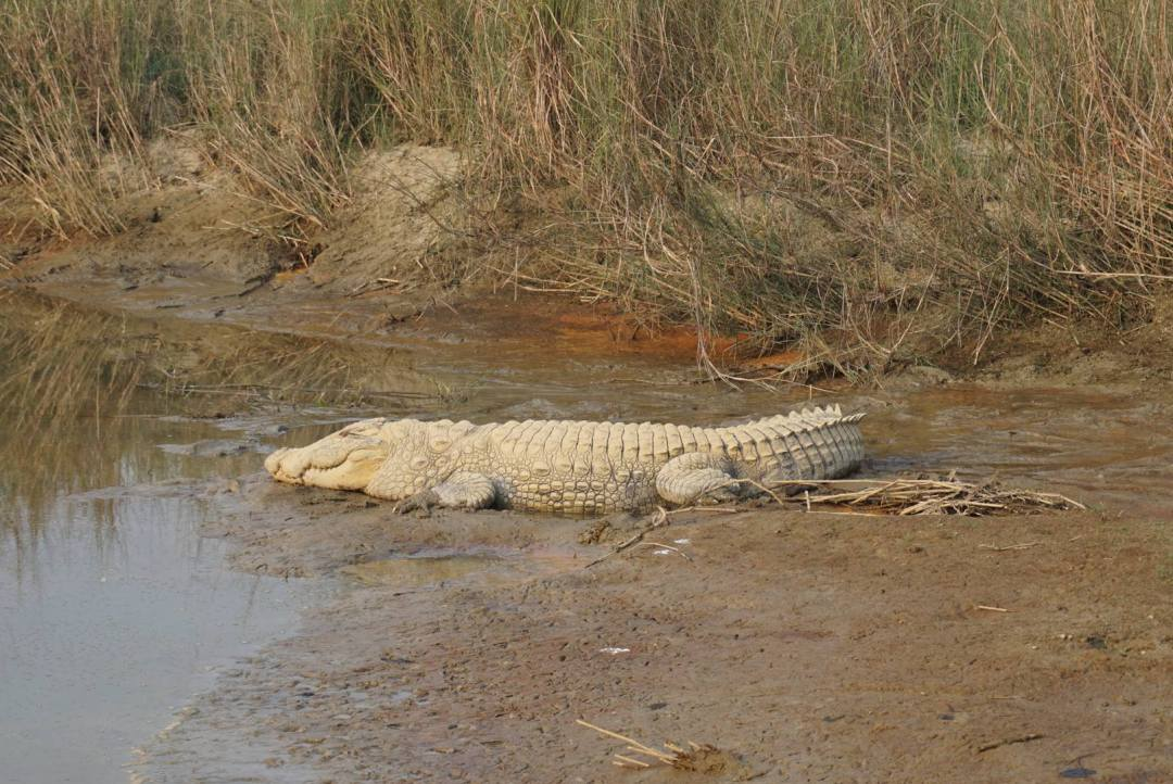 Krokodil chitwan national park