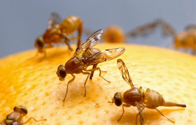 fruit vliegen