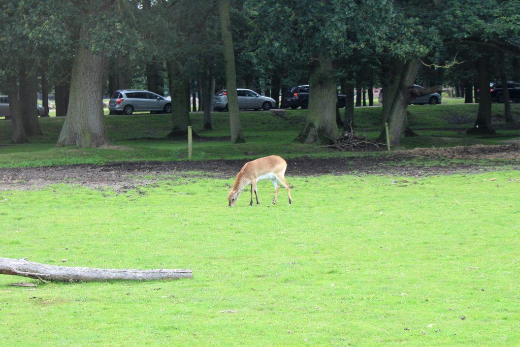 zoo thoiry bambi