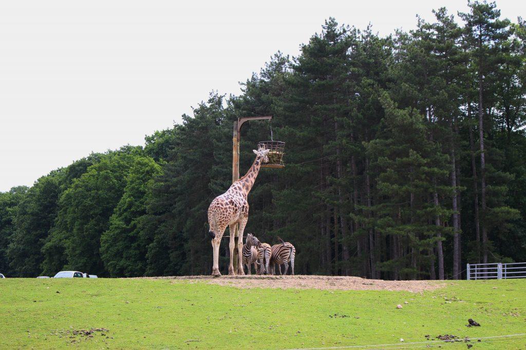 Zoo thoiry girafe zebre