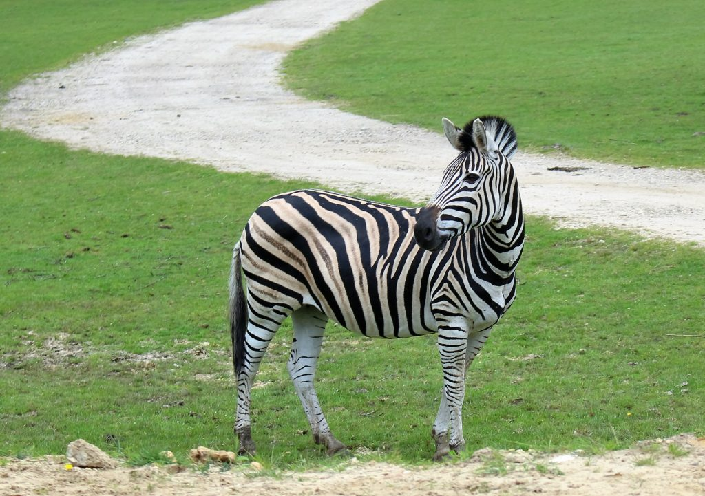 Zoo thoiry Zebre