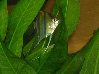 Mother Angel Fish watching her eggs