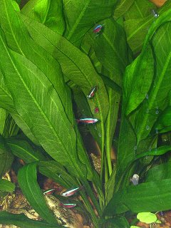 Cardinal Tetras and Amazon Sword Plants