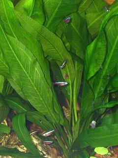 Cardinal Tetras and Amazon Sword Plants
