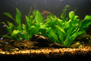 My Angel Fish and Cardinal Tetras in my Amazon Sword Planted Tank