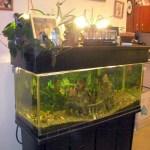 DIY Bell Siphon for Ebb and Flow Aquaponics with 75 gallon Aquarium