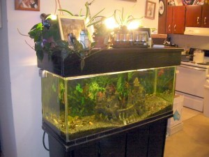 My 75 gallon aquarium in the living room before I added the  aquaponics component to it.