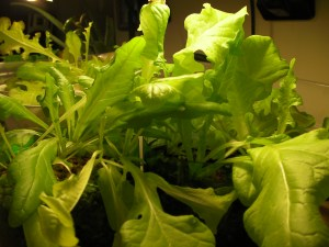 Aquaponics Grown Lettuce