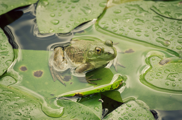 Frog photo taken with Nikon D5100 at Dr. Sun Yat Sen Gardens in Vancouver, BC, Canada in September 2011