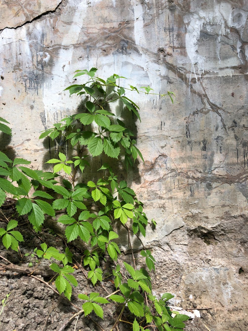 Click thumbnail to see details about photo - Plant Grows Agisnt Wall Saint John Photograph