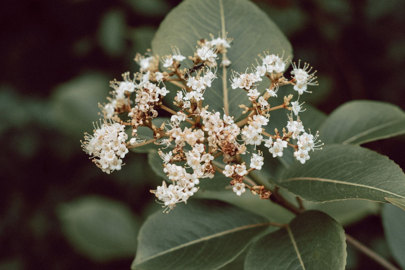 Click thumbnail to see details about photo - Blooming Hydrangea