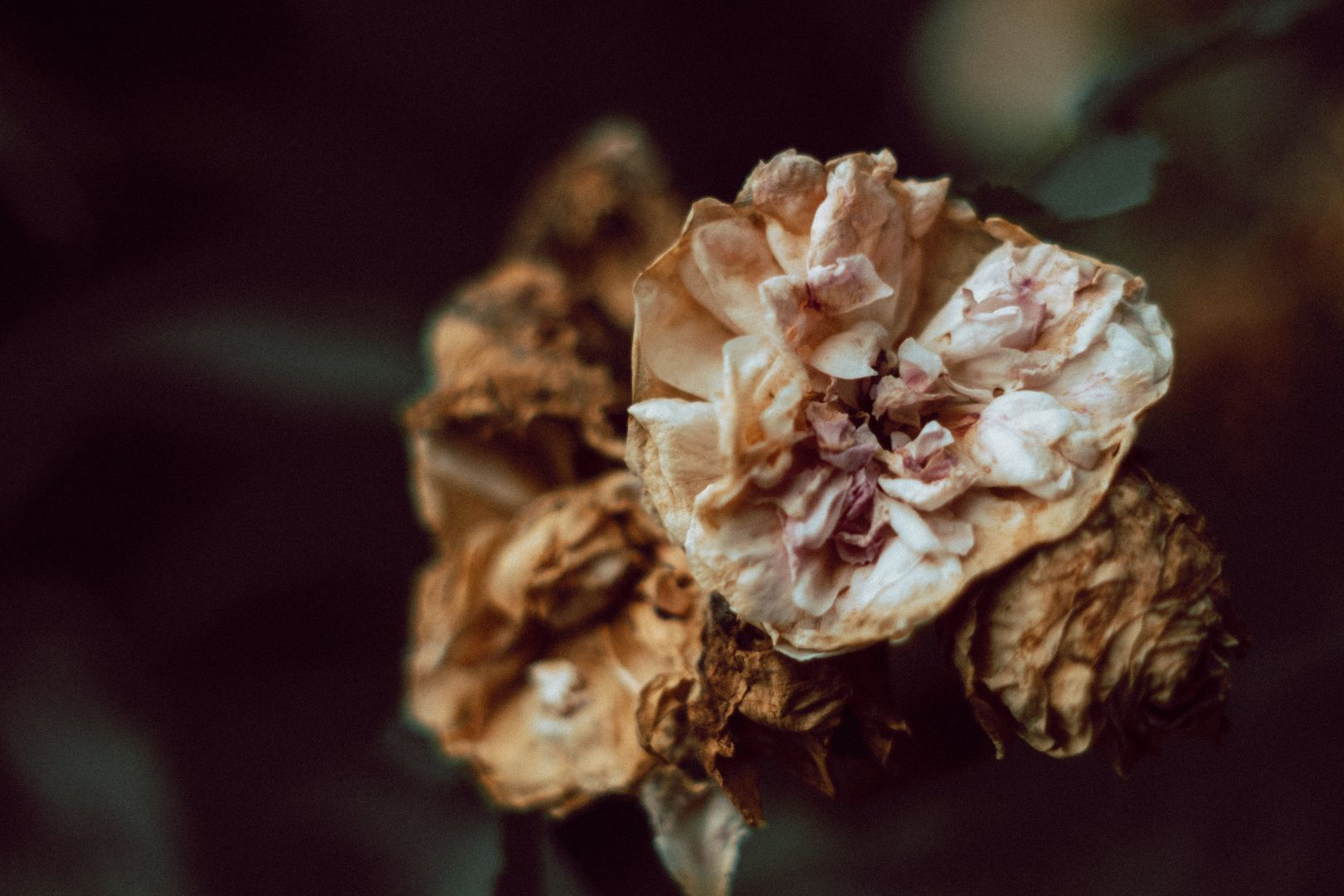A photo depicting Dying Flower Closeup