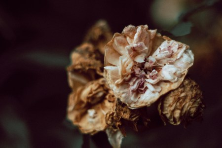 A photo of Dying Flower Closeup