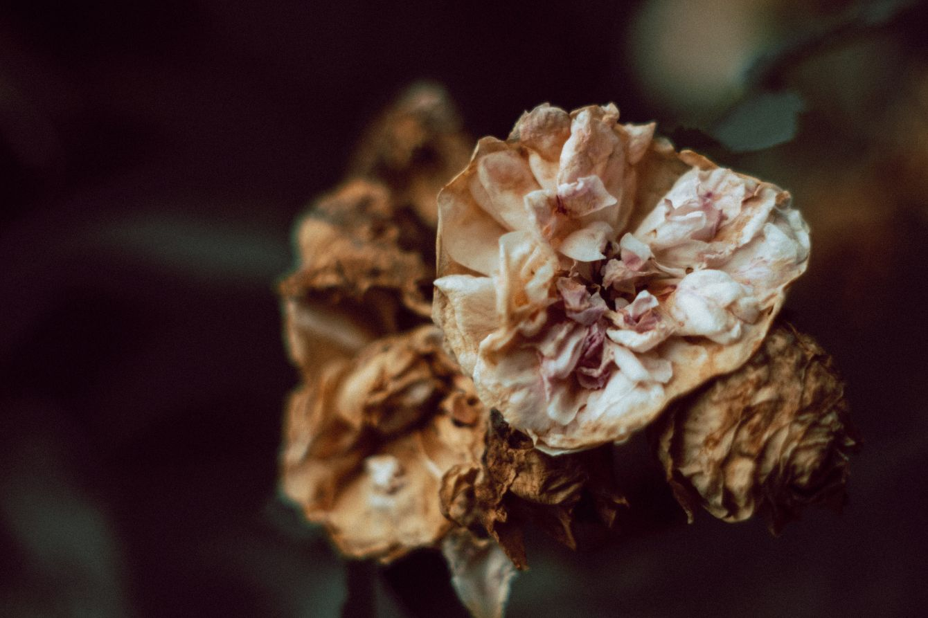 Click thumbnail to see details about photo - Dying Flower Closeup