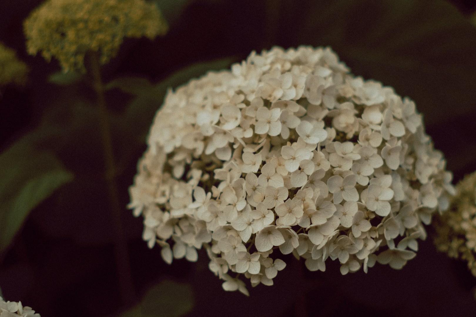 A photo of Hydrangea closeup Uptown