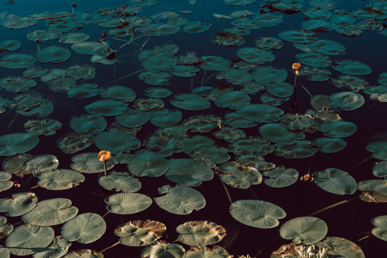 Click thumbnail to see details about photo - Lilly Pads at Rockwood Park In Saint John