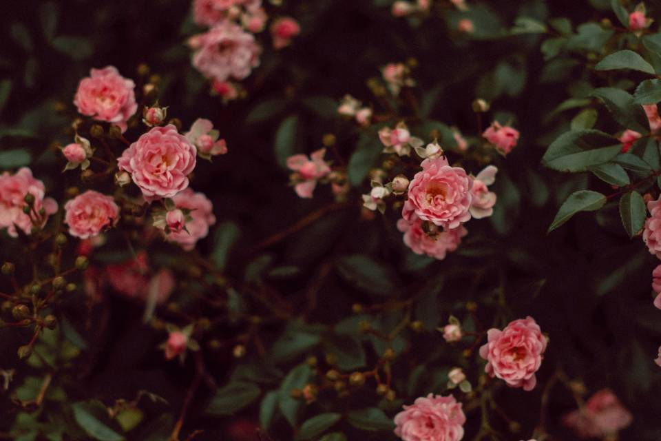 A photo of Roses wide