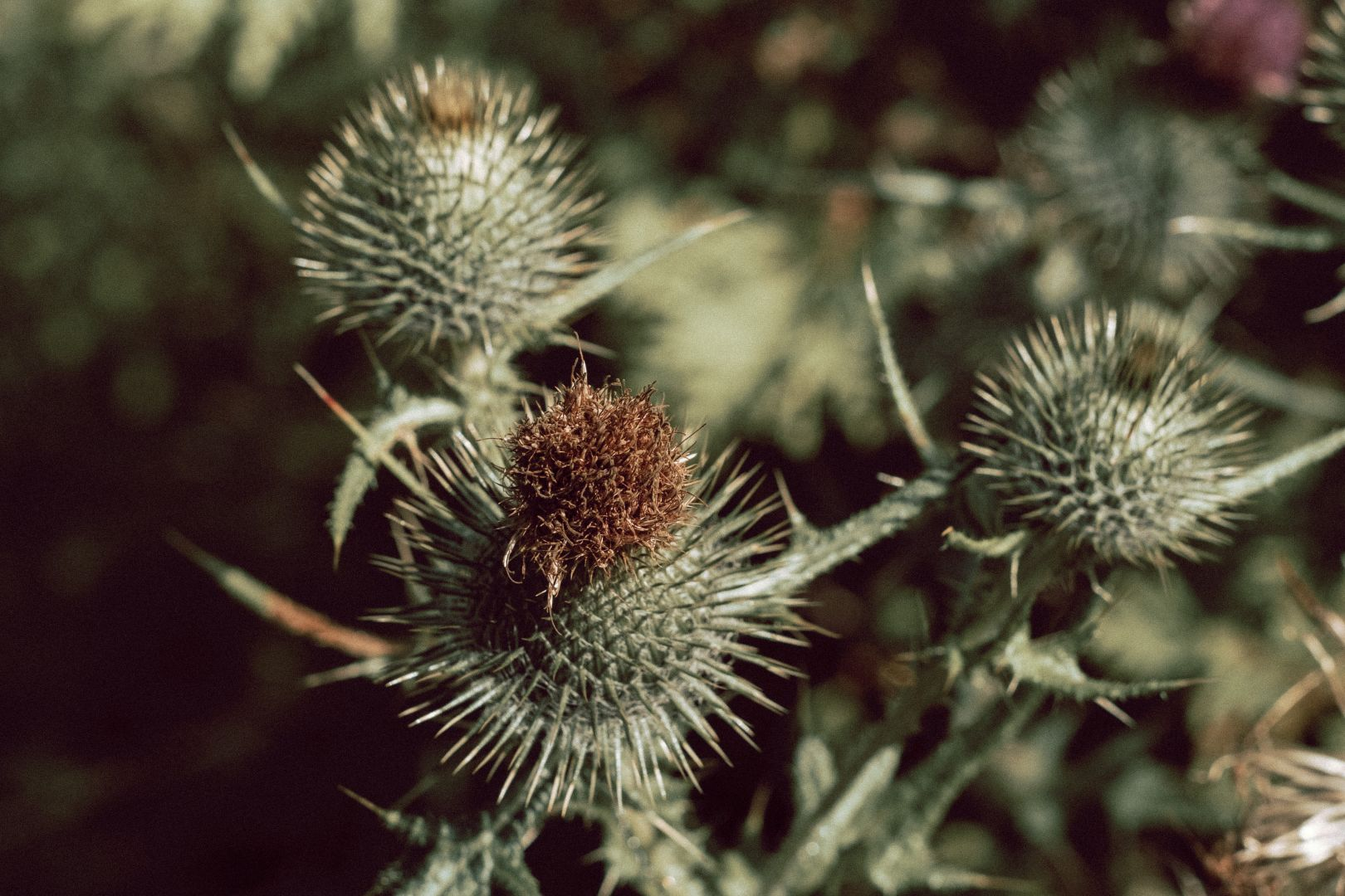 A photo of Bull Thistle Flower Closed