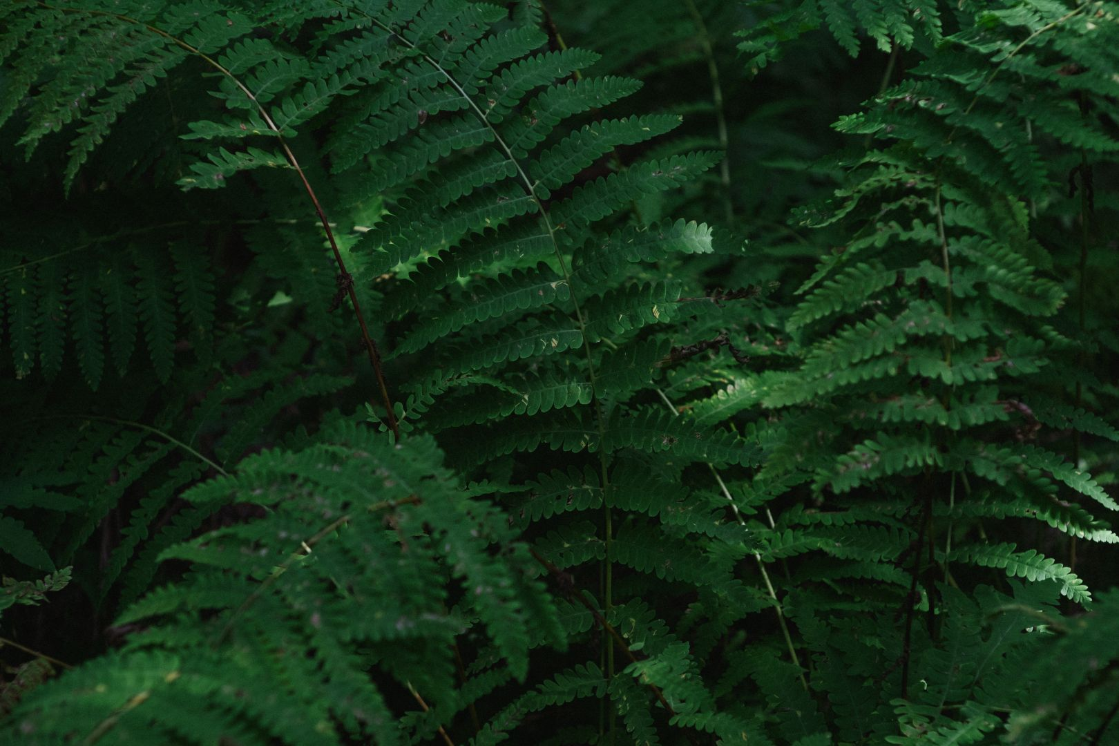 A photo depicting Green Fern Background