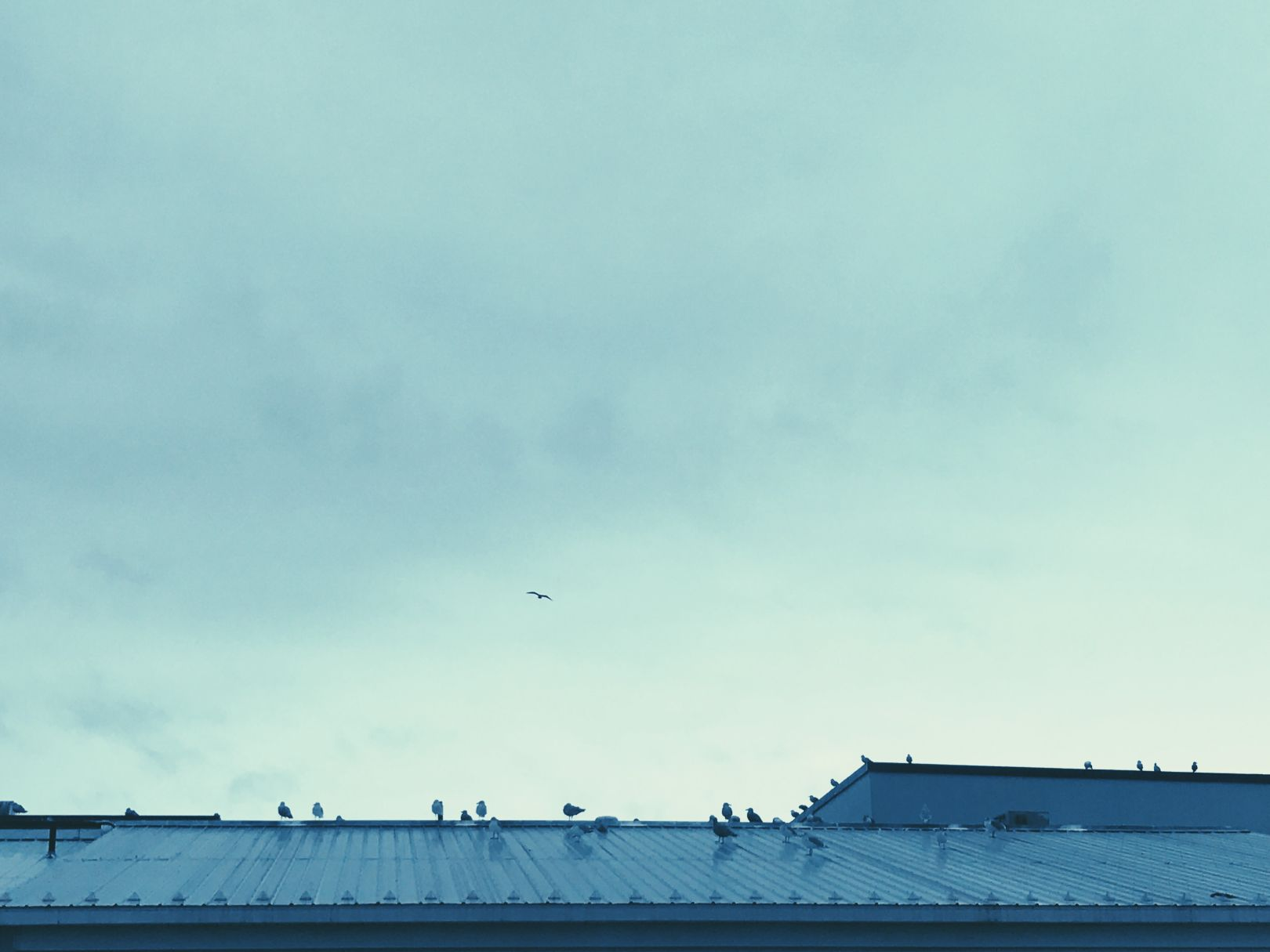 A photo depicting A flock of birds resting on an blue aluminum roof