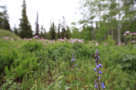 A preying mantis on a wildflower. -- Grand Teton National Park, WY