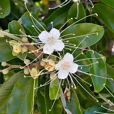 jamaica caper