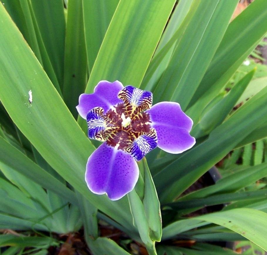 regina iris