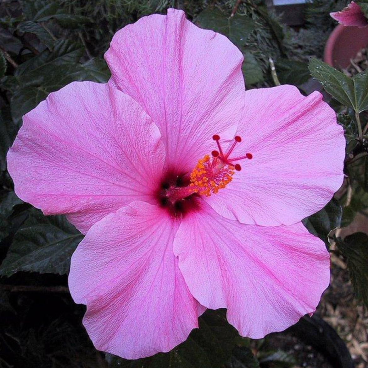 seminole pink hibiscus - Copy