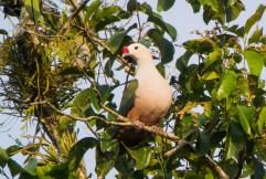Knob-billed Fruit Dove
