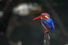 White-bellied Kingfisher