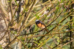 Common Redstart, an infrequent spring and regular autumn migrant.