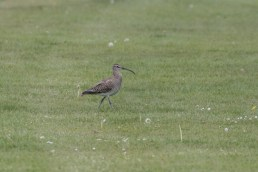 A Whimbrel on the green