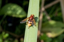 Volucella zonaria, a large Hornet-mimic hoverfly