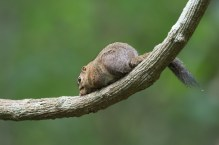 A Slender Squirrel isn't leaving his nut for anyone
