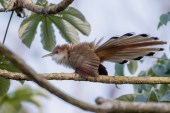 This Great Lizard Cuckoo displayed for us