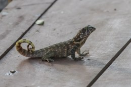 Northern Curly-tailed Lizard