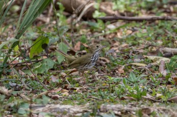 Ovenbird, the American Warbler that thinks it's a chicken
