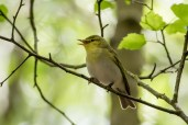 Wood Warbler, singing continuously