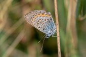 A roosting Silver-studded Blue