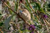 Reed Warbler 180805-002