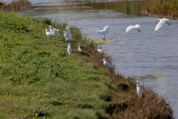 11 Cattle Egrets and one Little Egret