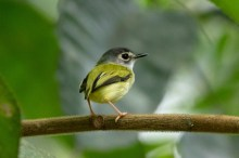 Black-capped Pygmy Tyrant, the world's smallest passerine