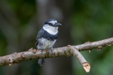 A White-necked Puffbird waits for us in a lay-by.