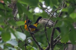 Brood parasitism in action: this Orange-crowned Oriole is feeding a young Shiny Cowbird