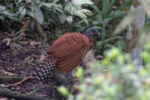 This female Great Curassow has been visiting a farm for the chicken-feed since it was a chick.